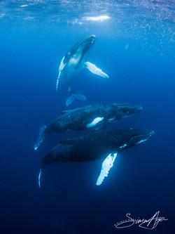 120810_SA_Three_humpbacks_linger_near_the_surface_002_6649