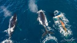 170204-SA-OW-Humpback-whale-takes-a-shit-003-
