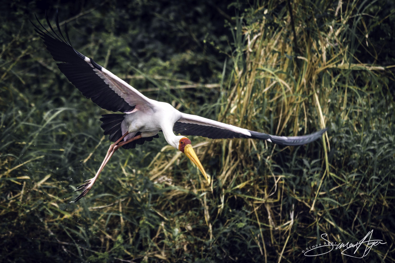 160618-SA-A5324 Yellow Billed Stork