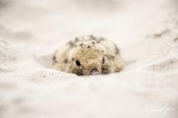 160705-SA-Myumba-Royal-Terns-chicks-and-eggs-7197