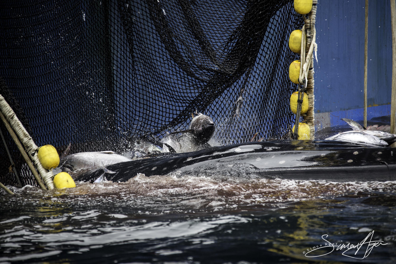 160703-SA-Txori-Berri-whale-shark-rescue-from-purse-seiner-net-6623