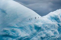 170212-SA-Adelie-Penguins-on-ice-001-6828
