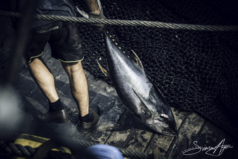 160602-SA-001-Zuberoa-deckhand-hauls-loose-Yellowfin-tuna-to-freezer-shoot