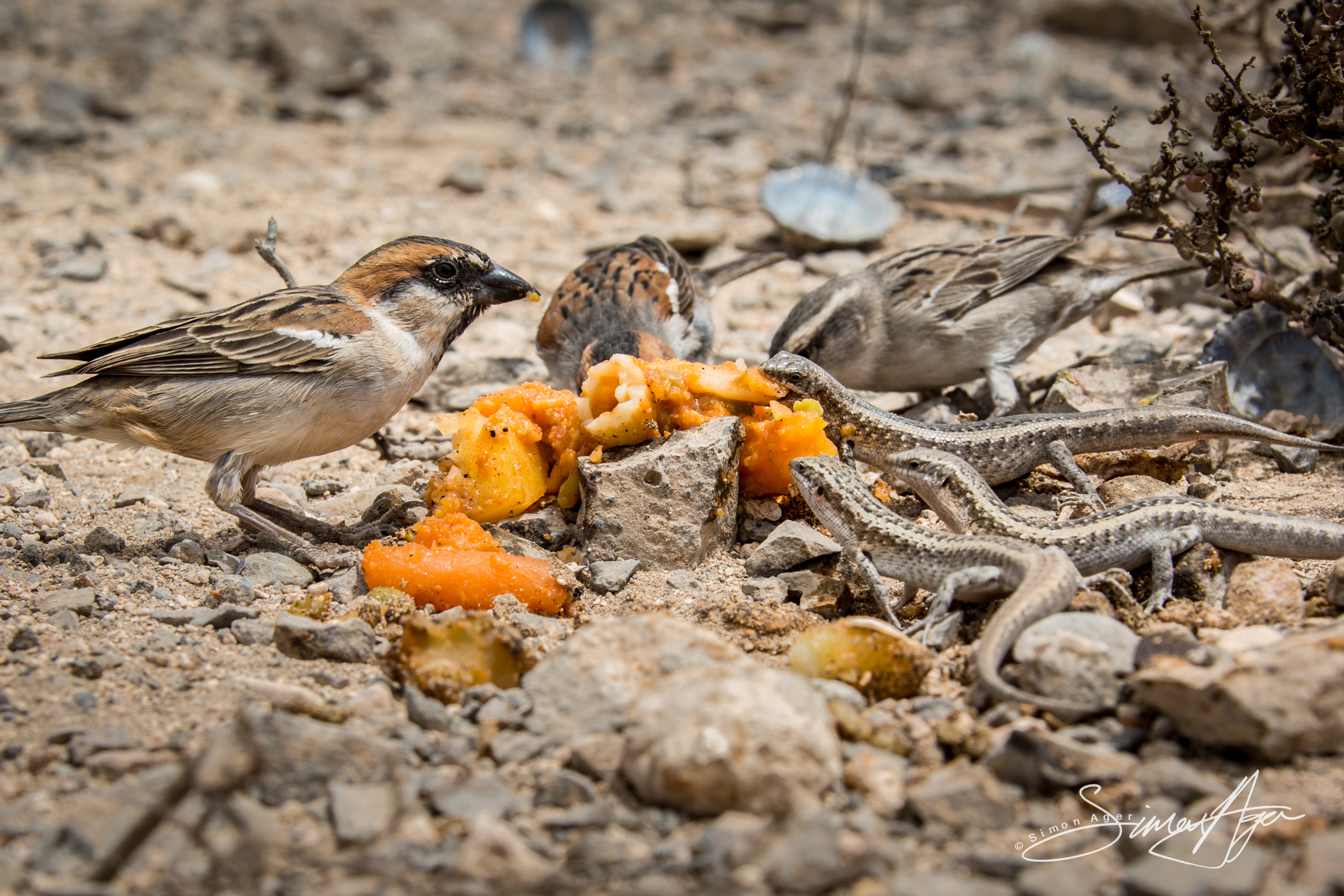 140814-SA-001-Sparrows-and-Lizards-consume-leftovers -1151