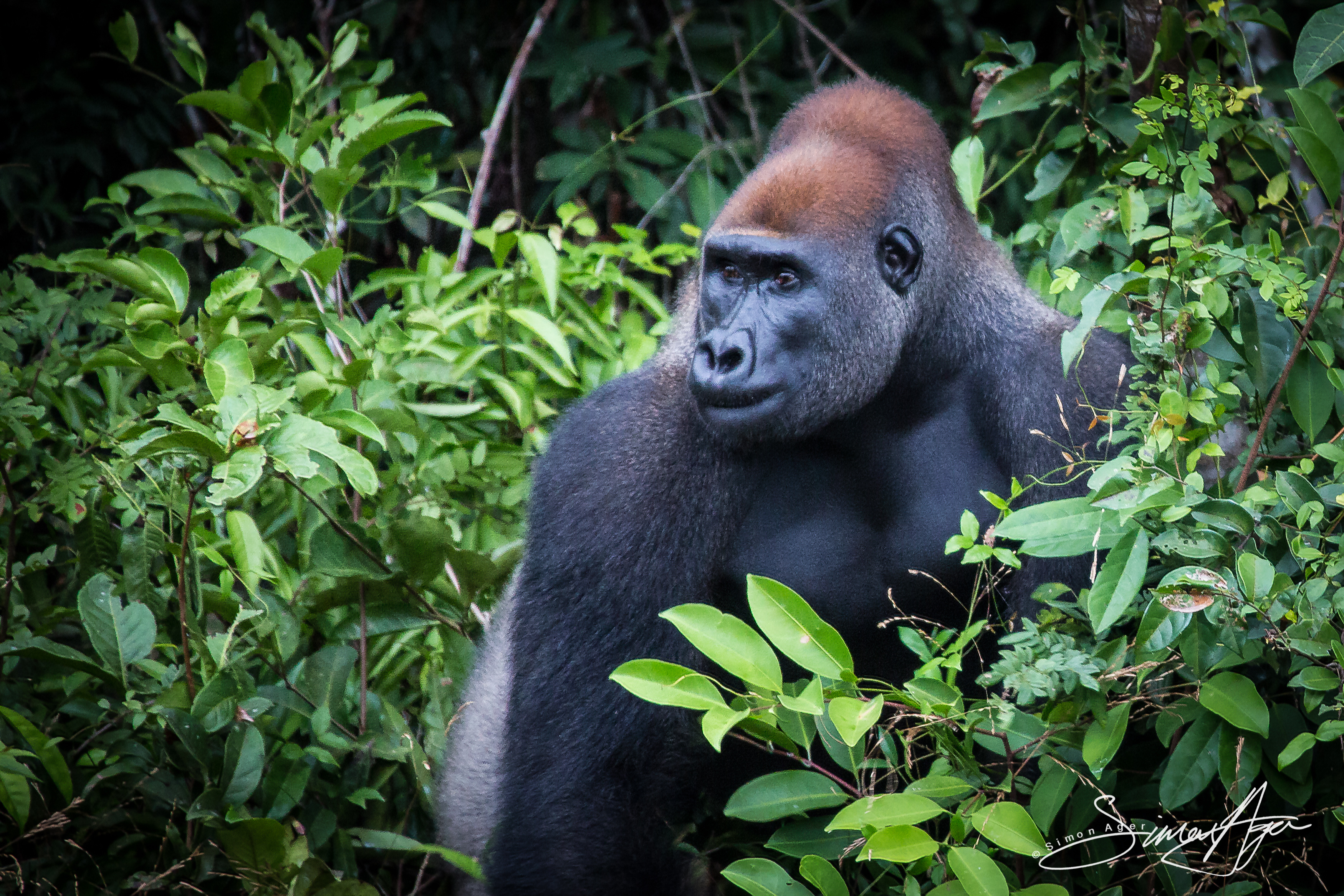 160718-SA-Fernan-Vaz-Gorilla-Project--2