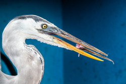 180924-OM-SA-Herring-feeding-on-fish-scr