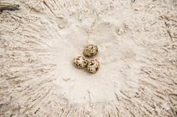 160705-SA-Myumba-Royal-Terns-chicks-and-eggs-7123