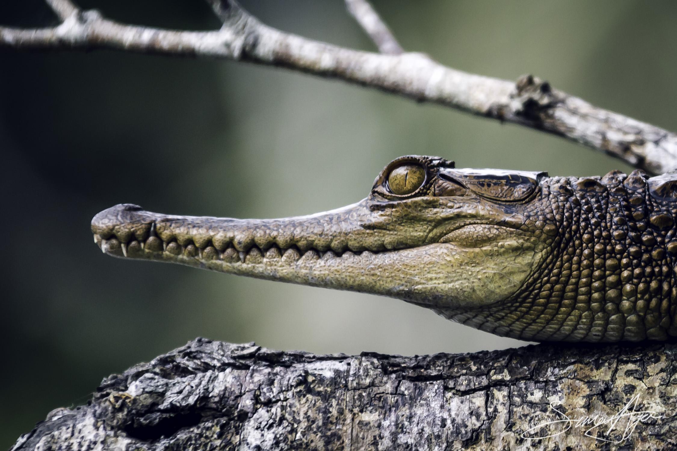 160618-SA-A5243 Juvenile Crocodiles