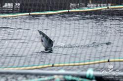 160809-SA-Midsummer-Island-fish-farm-Atlantic-salmon-jumping-1662