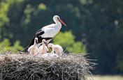 La-cigogne-voyageuse-du-levant-aux-editi