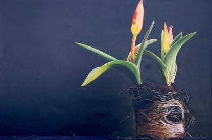 Roots - Tulipa Kaufmanniana by Kate Felt