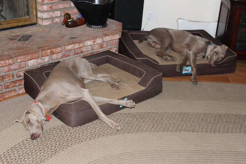 Gabby & Royce Silogram Weimaraners Relaxing at home