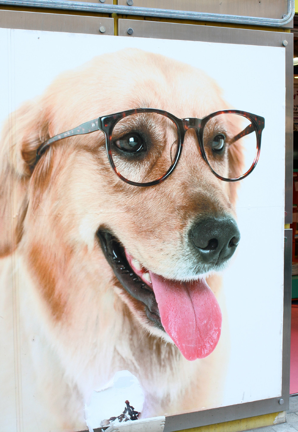 Picture of a golden retriever wearing glasses