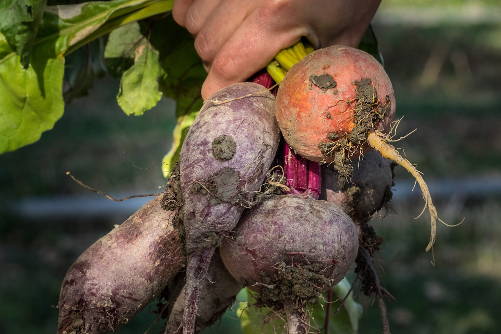Agriculture Photographer - Harvesting Beets