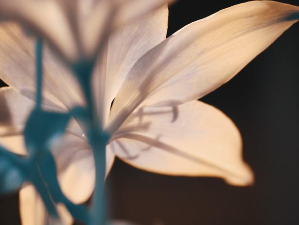 Tulip IR.jpg