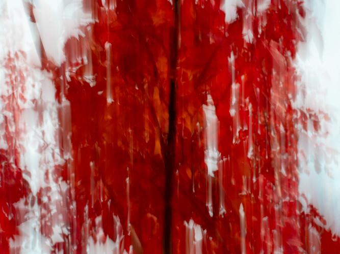 Last red maple
