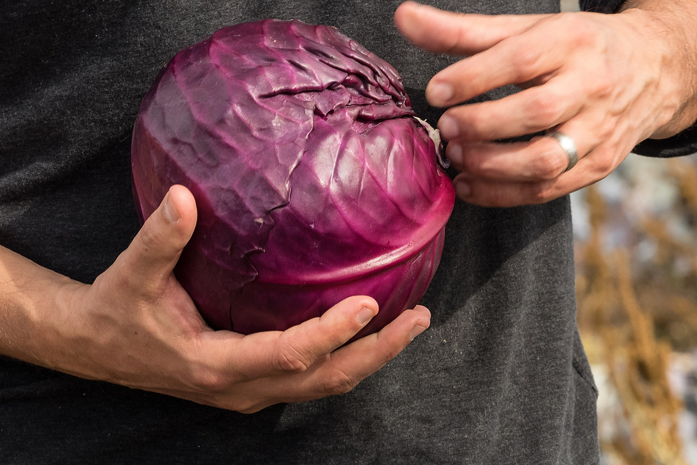 Agriculture Photographer - Harvesting Cabbage