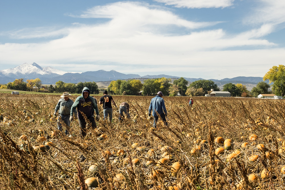 Agriculture Photographer - Harvesting Pumpkins
