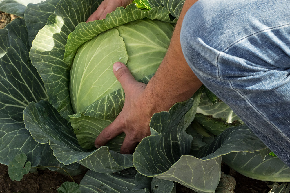 Agriculture Photographer - Harvesting Cabbage Crop
