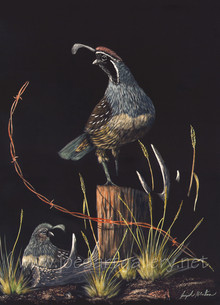 Gambel's Quail Male & Female #3