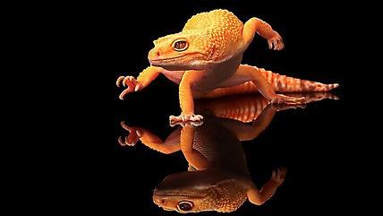 leapardgecko.jpg