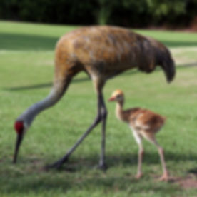 600px-Grus_canadensis_-adult_and_chick-8.jpg