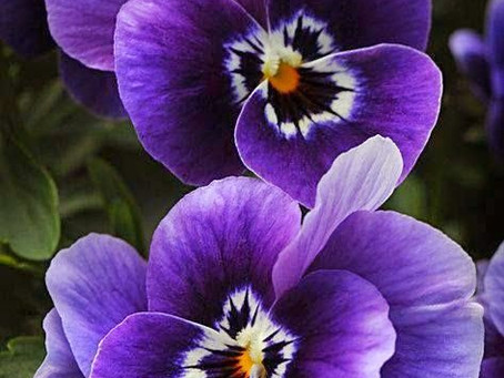 Calling All Pansies