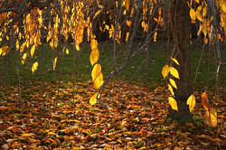 OH YES unplug arbre automne