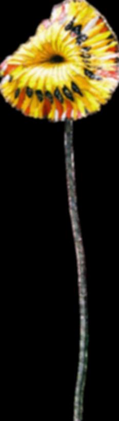 Il girasole
