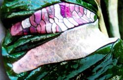 Loto Rosa Perla / Lotus Pink Pearl