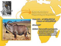 Roan-Antelope.jpg