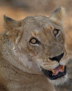 Close up Lioness