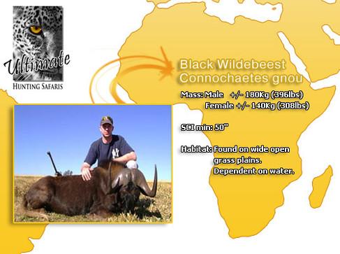Black Wildebeest.jpg