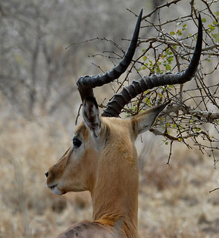 impala.jpg