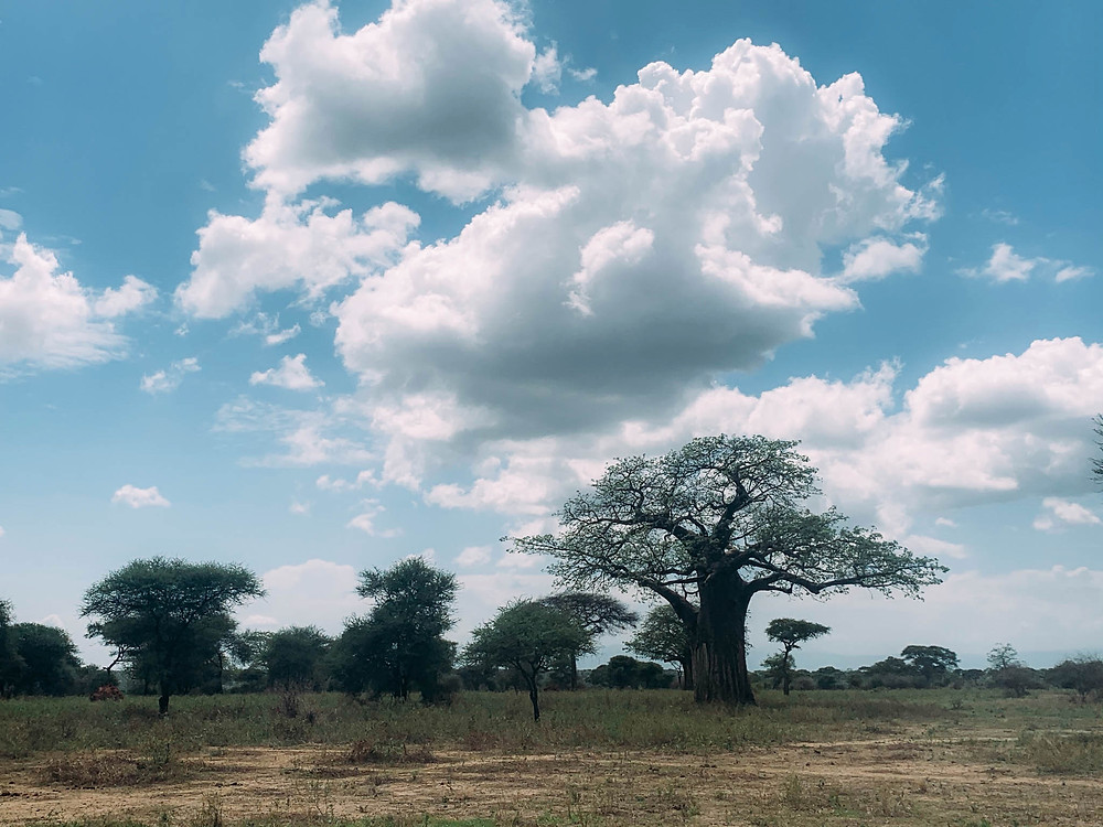 An African baobab, not sausage, tree - but still awesome!