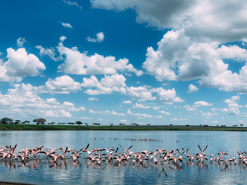 Flamingos taking off from a lake in Serengeti