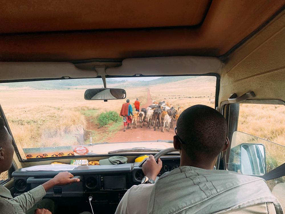 "A Maasai ""traffic jam"" on the way to Empekaai"