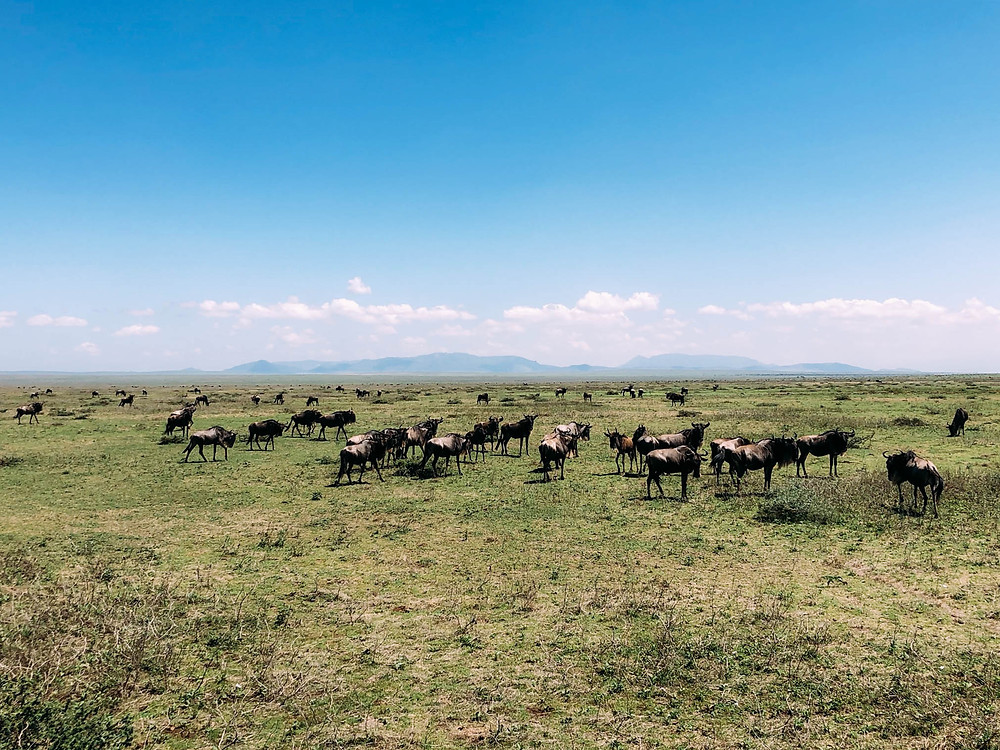 Wildebeest grazing on Ndutu Plain - one end of the Great Migration