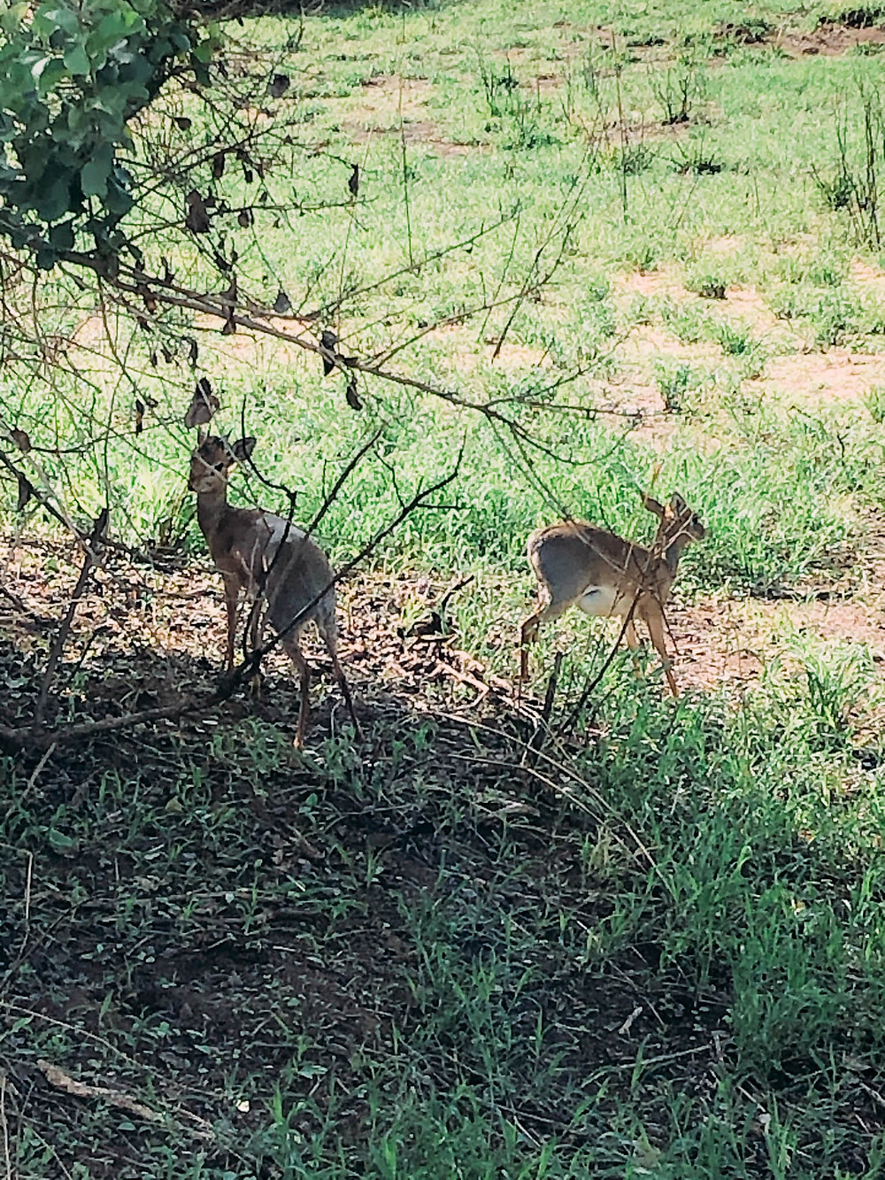 """Mr. and Mrs. Dik-Dik - notice the male's very """"ferocious"""" antlers"""