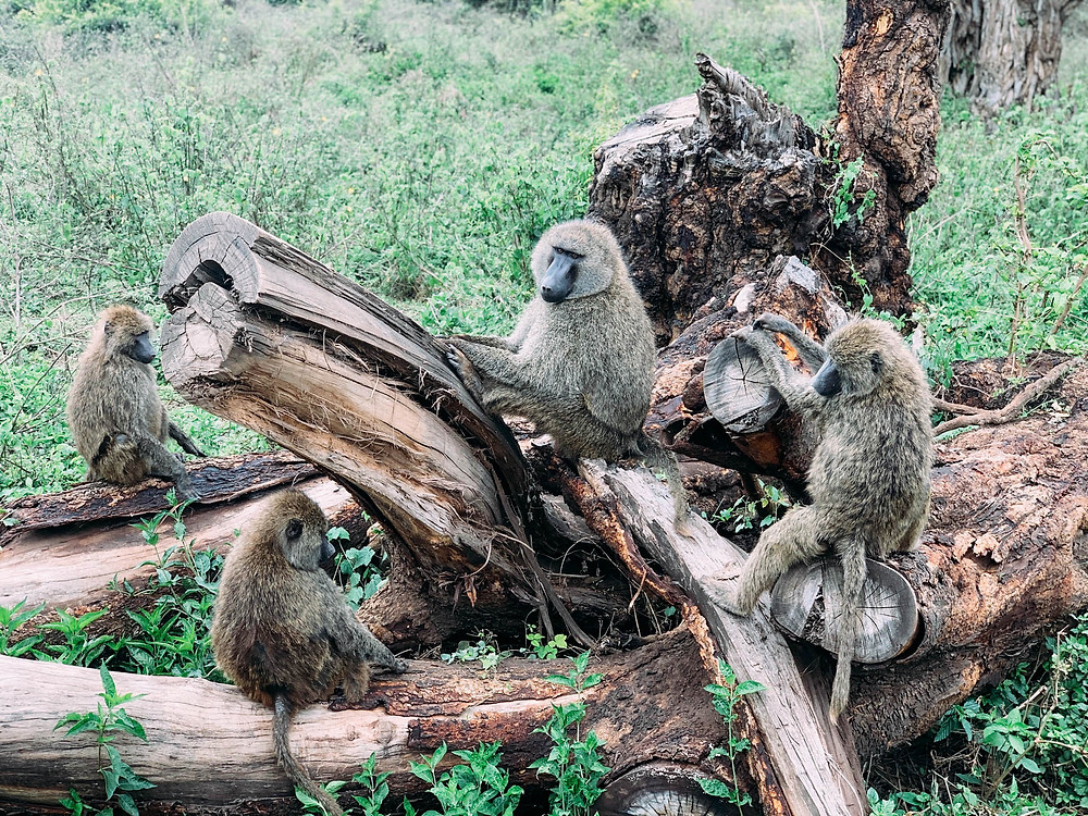 Baboons just off the road on the drive up the Gregory Rift Escarpment