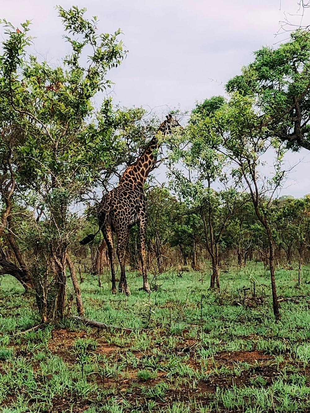 Mr. Giraffe bidding us farewell