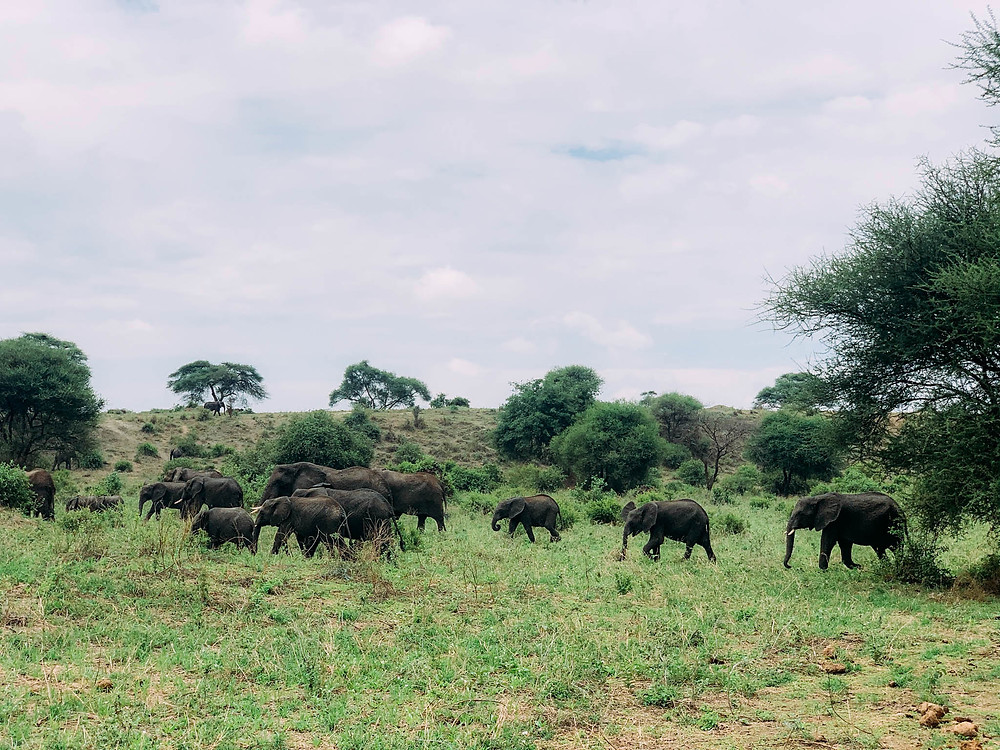 Elephants out for a morning stroll in Tarangire National Park