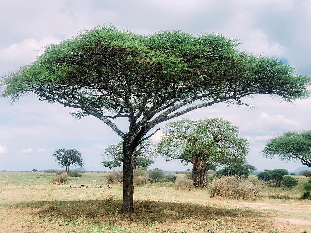 One of Tanzania's ubiquitous acacia trees - very thorny!