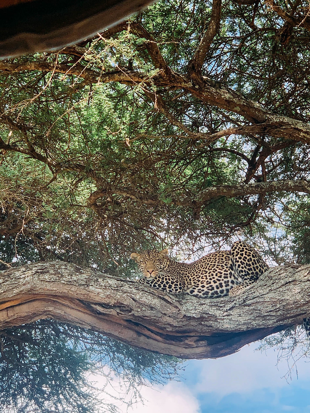 Too close for comfort with a leopard in Tarangire