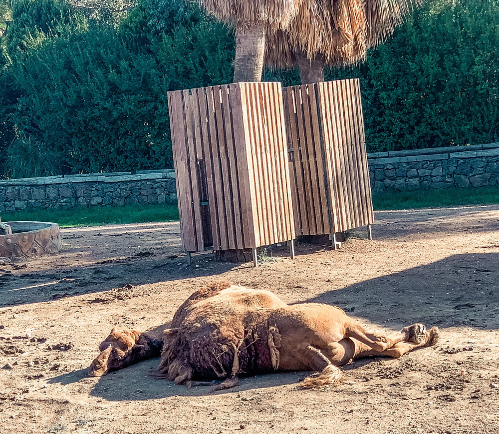 No, the camel is not dead - just napping