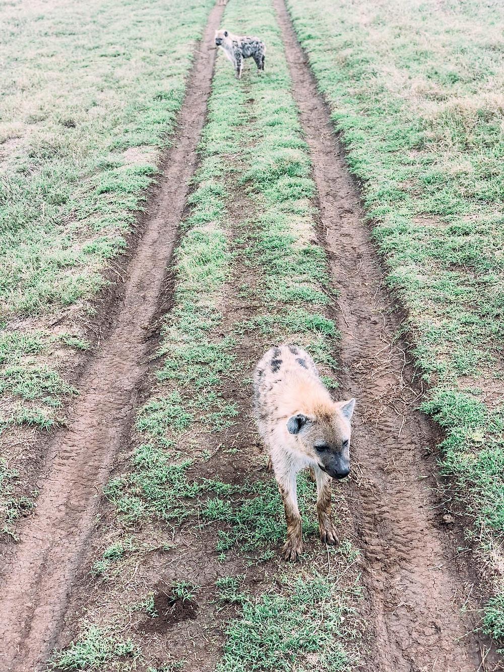 Stalking hyenas - absolutely terrifying