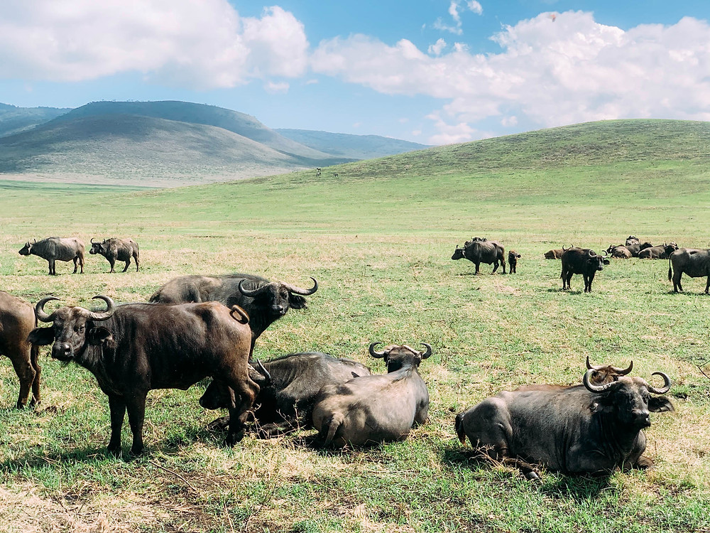 Cape buffalo - calm looking but actually quite aggressive