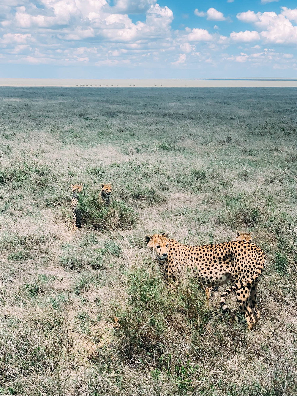 A cheetah mama and her playful cubs - very tough to see when blending into the tall grass