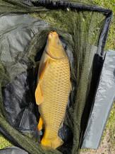13lb Carp caught in Culm Lake 15_04_2021