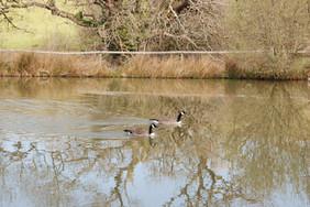 Geese on Culm Lkae